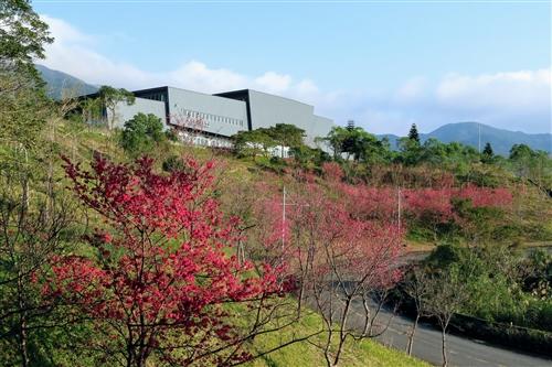 蘭陽校園山櫻花盛開