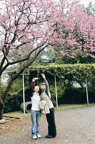 校園裡櫻花已經盛開,杜鵑也陸續開放,上圖為校友相約回校賞花。(攝影/曾煥元)