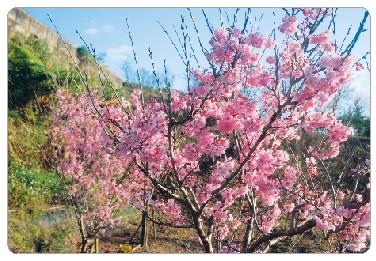 智慧花園盛放  櫻花梅樹繽紛喜氣