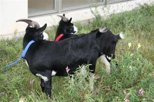 蘭陽校園的羊