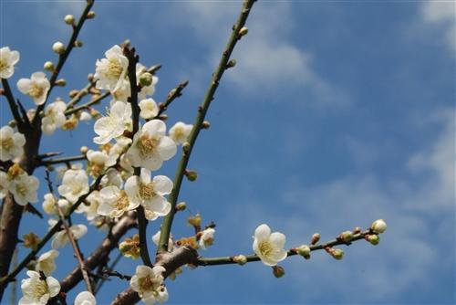 蘭陽校園梅花